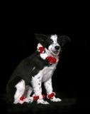 border collie szczeniak Obraz Royalty Free