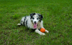 Border Collie take rest after playing ball. Border Collie playing ball on the grass field Royalty Free Stock Images