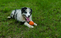 Border Collie take rest after playing ball. Border Collie playing ball on the grass field Stock Photography