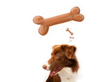 Border collie thinking about a bone Royalty Free Stock Images