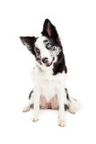 Border Collie Tilting Head Royalty Free Stock Image