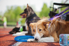 Border collie tired and resting Royalty Free Stock Photo