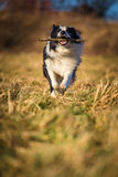 Border collie to fetch Royalty Free Stock Photos