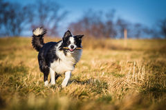 Border collie to fetch.  royalty free stock images