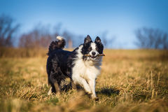 Border collie to fetch.  royalty free stock image