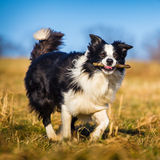 Border collie to fetch Royalty Free Stock Photography