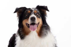 Border collie with tonque. Happy dog photographed in the studio on a white background stock photos