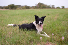 Border collie touch Stock Image