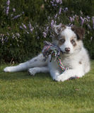 Border collie with toy Royalty Free Stock Photography