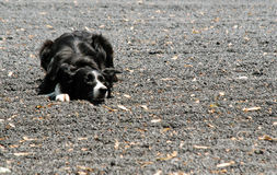 Border Collie Tracks Herd Stock Photography