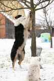 Border collie with a tree Stock Photo