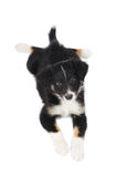 Border Collie tricolor puppy lies on the white Royalty Free Stock Images