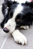 Border collie triste Immagini Stock