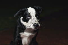 Border Collie tristi del cucciolo Fotografia Stock Libera da Diritti
