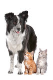 Border collie and two kittens Royalty Free Stock Photos