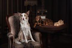 Border collie und Dachshund, die Schach im Studio spielen stockfoto