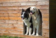 Border collie und golden retriever an der Hundehütte stockfotografie