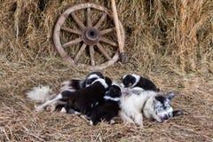 Border collie valpar med ett lamm Arkivbild