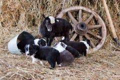 Border collie valpar med ett lamm Arkivfoton