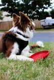 Border collie vermelho e branco com frisbee! Fotos de Stock Royalty Free