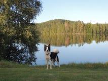 Border collie vid sjön Royaltyfria Bilder