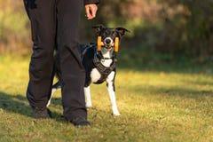 Border collie-vlotte haarstijl Teruggewonnen hond royalty-vrije stock foto's