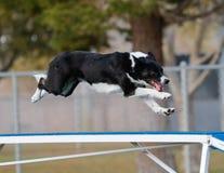 Border collie volant au-dessus de la promenade de chien Images libres de droits