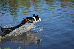 Border collie w wodzie Fotografia Royalty Free