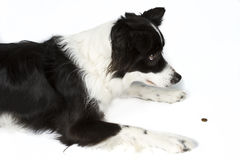 Border Collie Waiting. For Treat Royalty Free Stock Photos