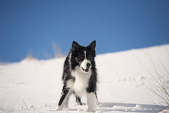 Border Collie waiting for a command in snow Royalty Free Stock Photos