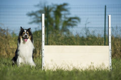 Border collie waits for the command Royalty Free Stock Images