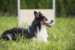 Border collie waits for the command Stock Photography