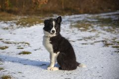 Puppy of border collie stock image