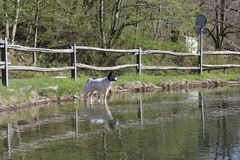 Border collie on the water mirror royalty free stock photo