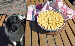 Border Collie watching the fresh apple pie. royalty free stock photos