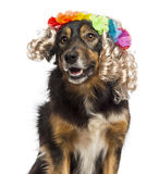 Border collie wearing a blond wig Royalty Free Stock Photo