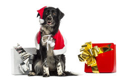 Border Collie wearing Christmas clothes, sitting next to present Stock Images