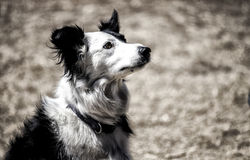 Border collie wearing collar. Sitting border collie wearing collar Royalty Free Stock Photography