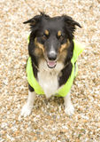 Border Collie wearing hi vis Jacket Stock Photos