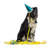 Border Collie wearing a party hat and sitting in serpentines Stock Photo