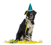 Border Collie wearing a party hat and sitting in serpentines Stock Photos