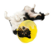 Border collie wearing a space collar lying Royalty Free Stock Photos