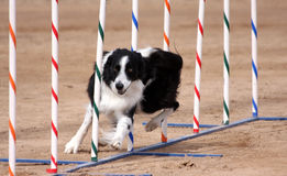 Border Collie weaving through poles. In an agility course stock images