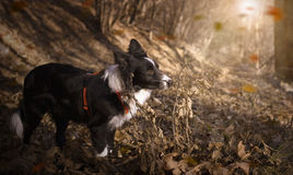 Border collie-Welpe, der im Herbstlaub spielt stockfotografie