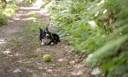 Border collie-Welpe, der mit dem Ball, im Wald sich entspannt Lizenzfreies Stockfoto