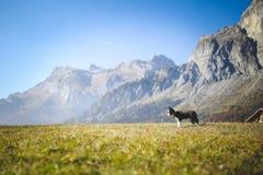 Border collie-Welpe in der Natur lizenzfreies stockbild