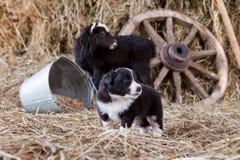 Border collie-Welpe mit Lamm Stockfotografie