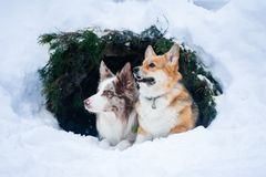 Border collie and welsh corgie pembrock dogs sitting outddors in Royalty Free Stock Photos