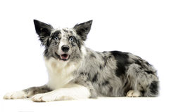Border Collie is in  white background Royalty Free Stock Images
