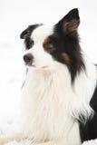Border collie in winter Stock Photos